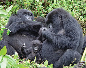 Gorillas-in-Virunga-Natioal-Park