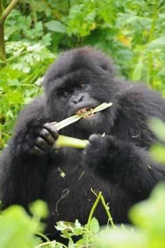 gorilla-safari