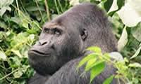 lowland-gorilla-drc