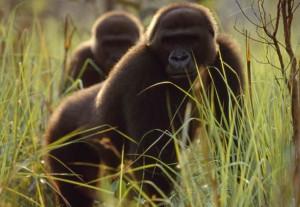 lowland-gorillas-congo