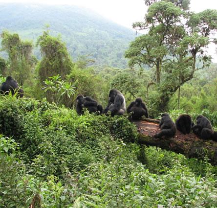 Gorilla safaris in Uganda & Rwanda