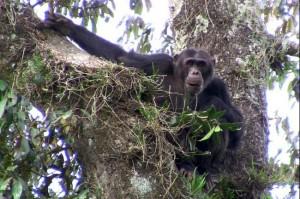 chimps-rwanda