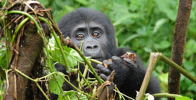 Gorilla Trekking in Mgahinga National Park