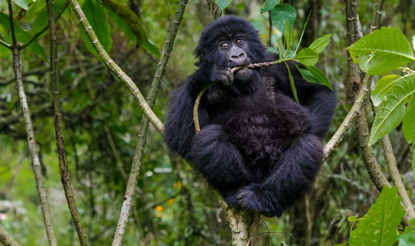 African Mountain Gorilla Safari
