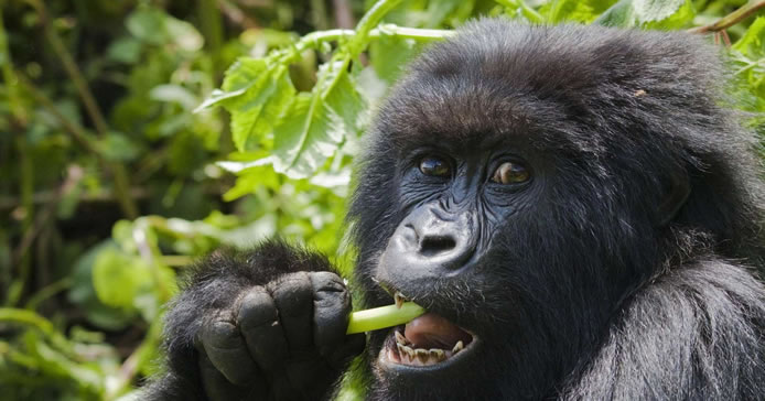 African Gorillas in Mgahinga