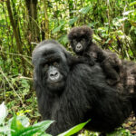 Mountain Gorilla With A Baby