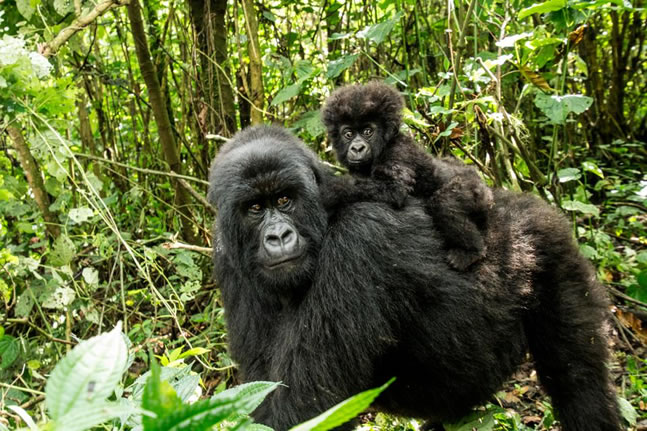 Mountain Gorilla With A Baby
