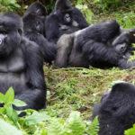 African Mountain Gorillas